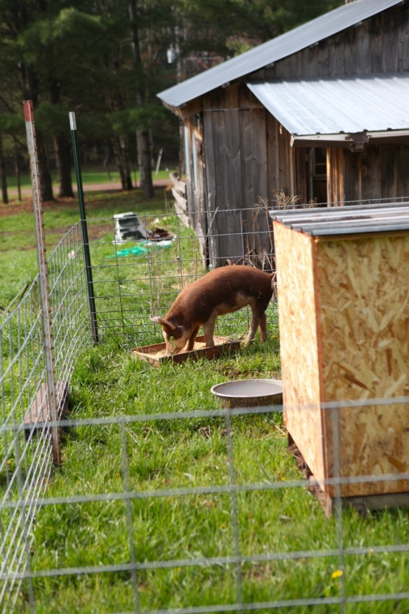 Raising Backyard Pigs: Or, as it is, Pig. | Itty Bitty Impact